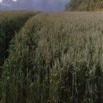 Ein Weizenfeld