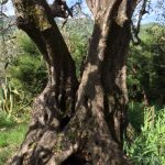 One old olive tree