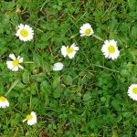 Only daisies