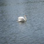 One swan does not make a summer